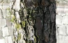A-lonely-tree-inside-Nijojo-Castle,-Kyoto,-February-2011