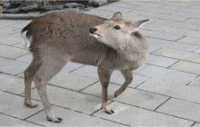 Deer-of-Nara-February-2011